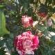 14-po.la-rosa-de-la-amistad_mod